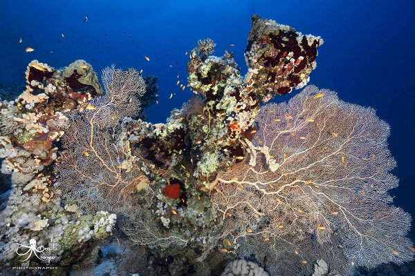 Red Sea fan cral at 25m underwater photography